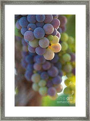 Vine Ripe One Framed Print by Brooke Roby