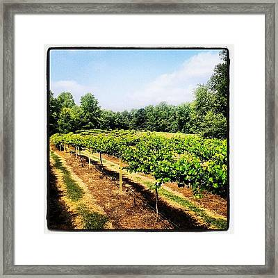 #vineyard #backyard #grapes #vines Framed Print