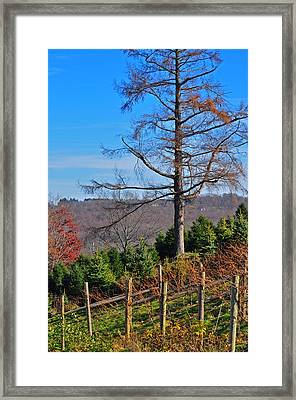 Vineyard In Fall Framed Print by Peter  McIntosh