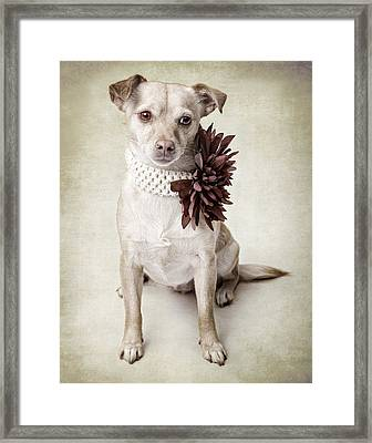 Vintage Chihuahua Framed Print by Susan Schmitz