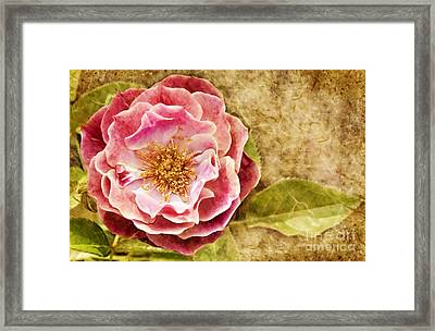 Framed Print featuring the photograph Vintage Rose by Cheryl Davis