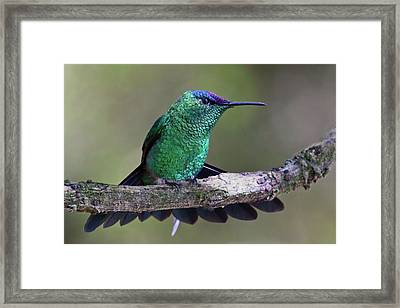 Violet Capped Woodnymph Framed Print by Jaim Simoes Oliveira