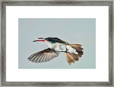 Framed Print featuring the photograph Violet Crowned Hummingbird In Level Flight by Gregory Scott