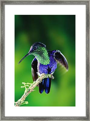 Violet-crowned Woodnymph Thalurania Framed Print