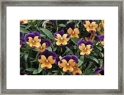 Violets Framed Print by Archie Young