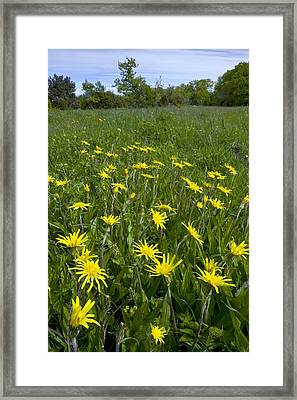 Viper's-grass Framed Print by Bob Gibbons