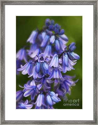Virginia Bluebells Framed Print by Jeff Breiman