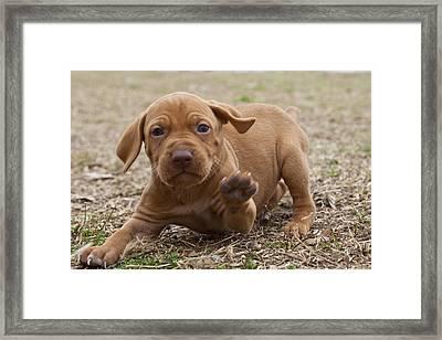 Vizsla Pup Framed Print