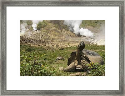 Volcan Alcedo Giant Tortoise Geochelone Framed Print by Pete Oxford