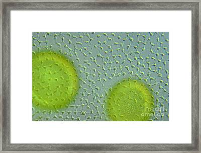 Volvox Globator Surface View Of Colony Framed Print by M I Walker
