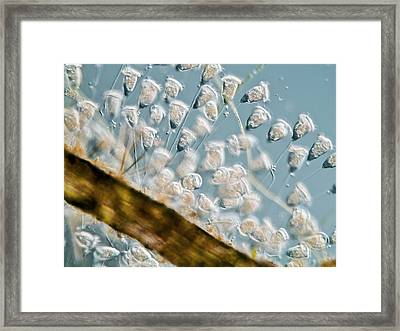 Vorticella Protozoa, Light Micrograph Framed Print by Gerd Guenther