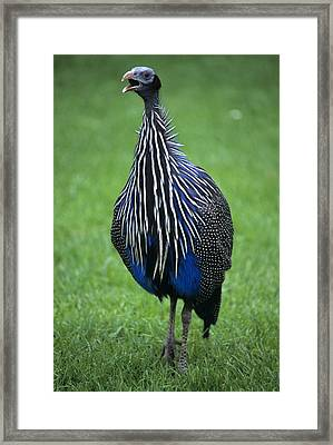 Vulturine Guineafowl Framed Print by David Aubrey
