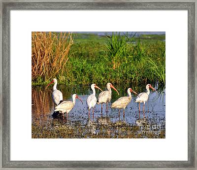 Wading Ibises Framed Print by Al Powell Photography USA