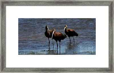 Framed Print featuring the photograph Waiding Ibis by Mitch Shindelbower