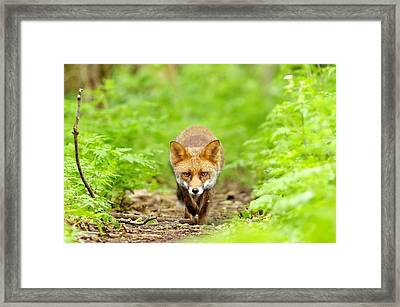 Walking Fox Framed Print