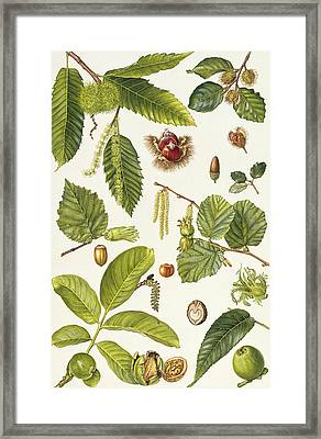 Walnut And Other Nut-bearing Trees Framed Print by Elizabeth Rice