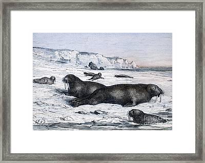 Walruses On Ice Field Framed Print by Granger