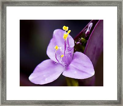 Wandering Jew  Beauty's Queen  Framed Print by Michael Putnam