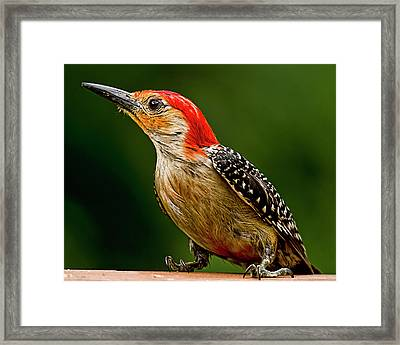 Wary Red-belly Framed Print by Michael Putnam