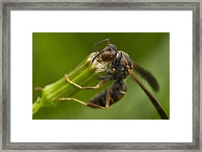 Wasp Eating Framed Print by Dean Bennett
