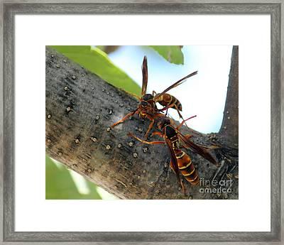 Wasp Fight Framed Print by Billie-Jo Miller