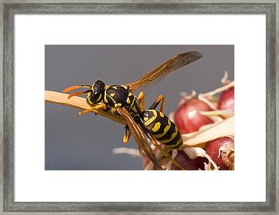 Wasp On Garlic Framed Print