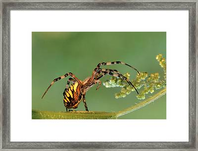 Wasp Spider Argiope Bruennichi On Leaf Framed Print