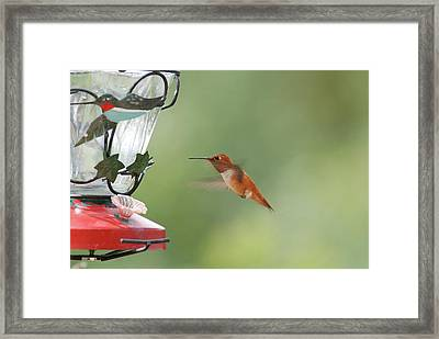 Watchful Rufous Framed Print