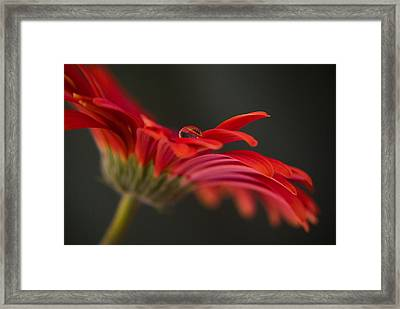 Water Drop On A Red Gerbera Flower Framed Print by Pixie Copley