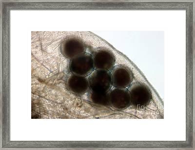 Water Flea Daphnia Magna Eggs Framed Print by Ted Kinsman