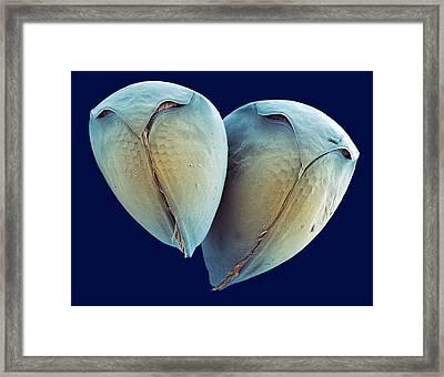 Water Fleas, Sem Framed Print by Steve Gschmeissner