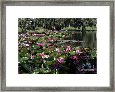 Water Lilies In The St. Lucie River Framed Print by Sabrina L Ryan