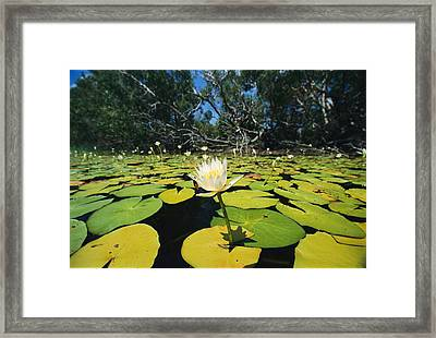 Water Lilies, Jardine River, Cape York Framed Print by Joe Stancampiano