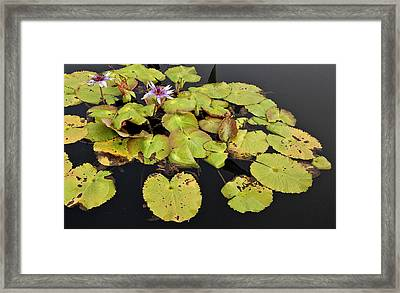 Water Lillies And Pads Framed Print by Forest Alan Lee
