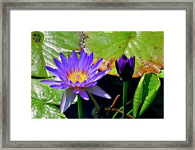 Framed Print featuring the photograph Water Lillies by Helen Haw