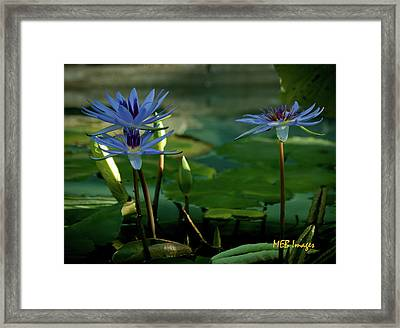 Water Lillies Framed Print by Margaret Buchanan