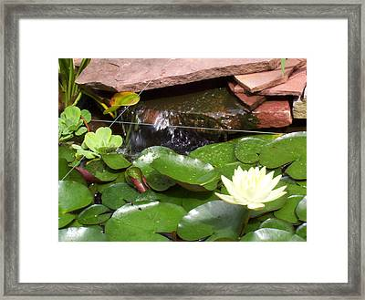 Water Lillies Framed Print by Richard Willows