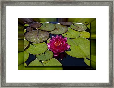 Water Lilly 4 Framed Print by Charles Warren