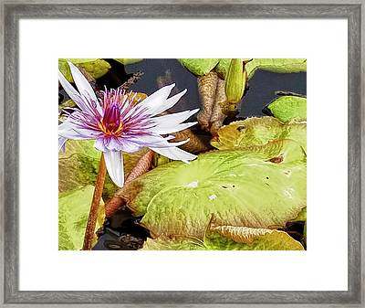 Water Lilly Close Up Framed Print by Forest Alan Lee