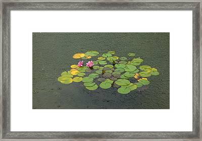 Water Lilly In Rain -1 Framed Print by Muhammad Hammad Khan