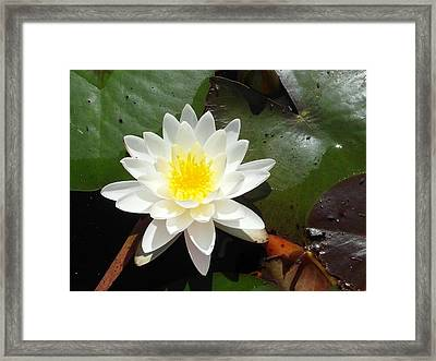 Water Lily 1 Framed Print by Tanya Moody