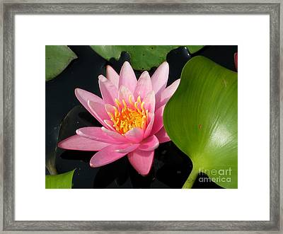 Water Lily 2 Framed Print by Eva Kaufman