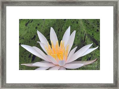water lily 85 Arc-en-ciel Framed Print
