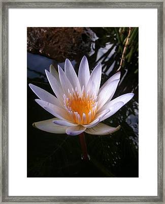 Framed Print featuring the photograph Water Lily by Carol Sweetwood