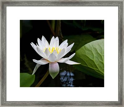 Water Lily In Morning Sun Framed Print