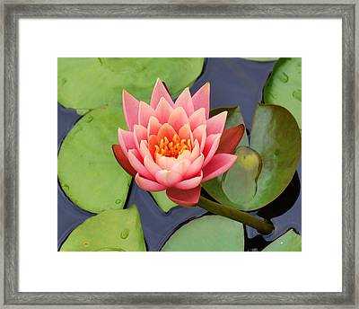 Water Lily Framed Print by Mary Zeman