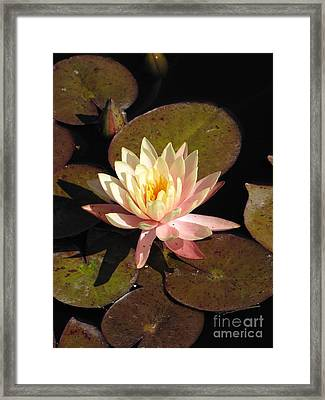 Water Lily Framed Print by Michelle H