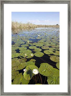 Water Lily Nymphaea Sp Flowering Framed Print by Matthias Breiter