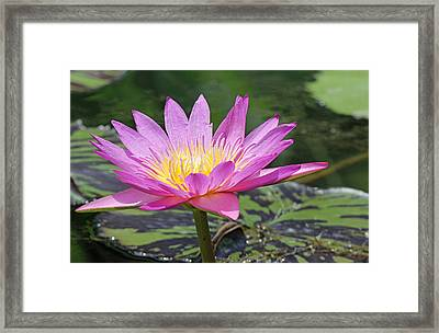 Water Lily On A Sunny Day Framed Print by Becky Lodes