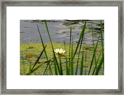 Water Lily On The River Framed Print